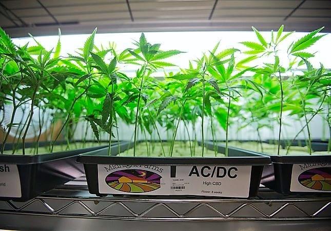 Santa Clara looks to extend ban on recreational cannabis