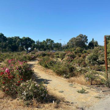 Câu chuyện về hai vườn hồng San Jose